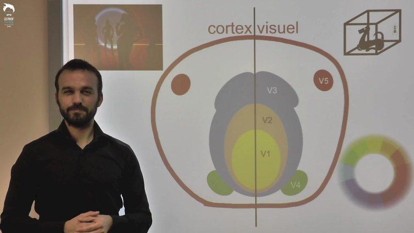 Des aires cérébrales traitent l'information visuelle