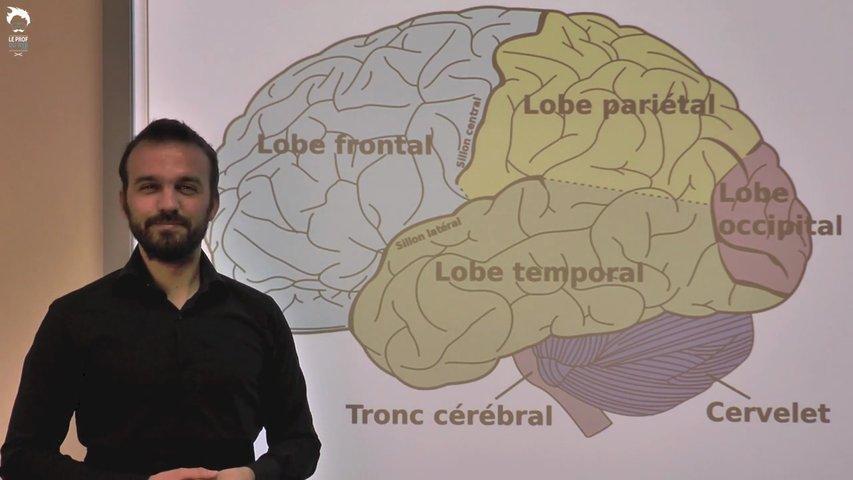 De la rétine au cortex visuel en passant par le nerf optique