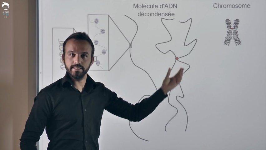 Le cycle cellulaire et les états de l'ADN