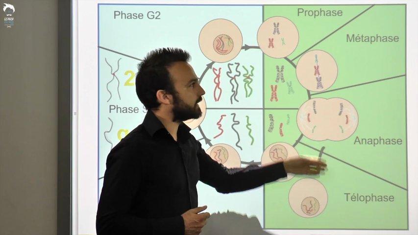 Le cycle cellulaire en bref