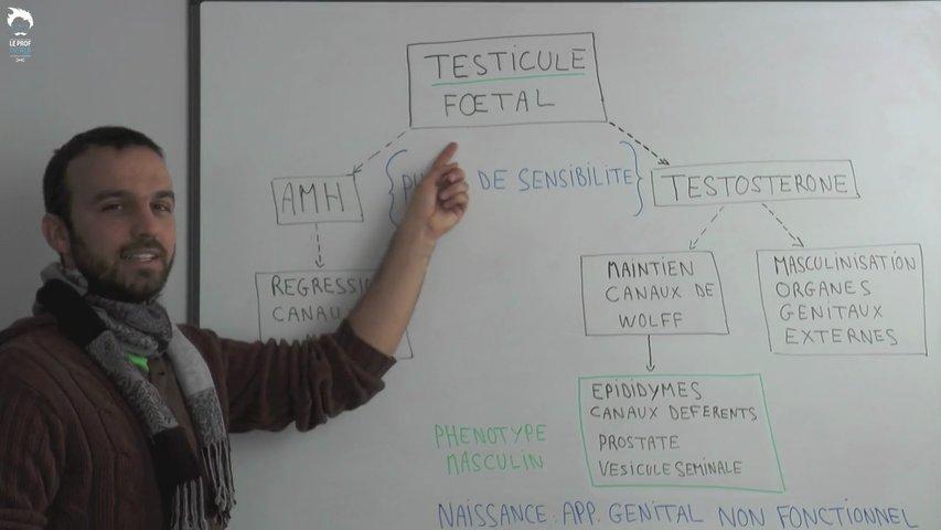 Du sexe gonadique au sexe phénotypique differencié