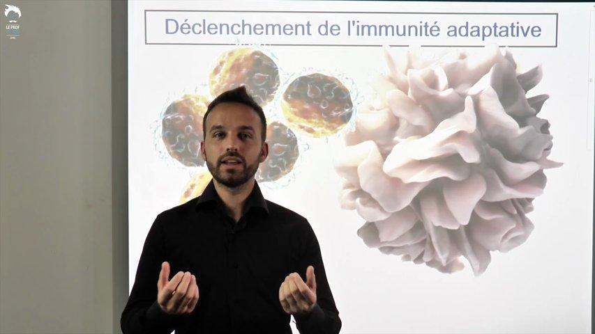 Cellules présentatrices de l'antigène et déclenchement de l'immunité adaptative