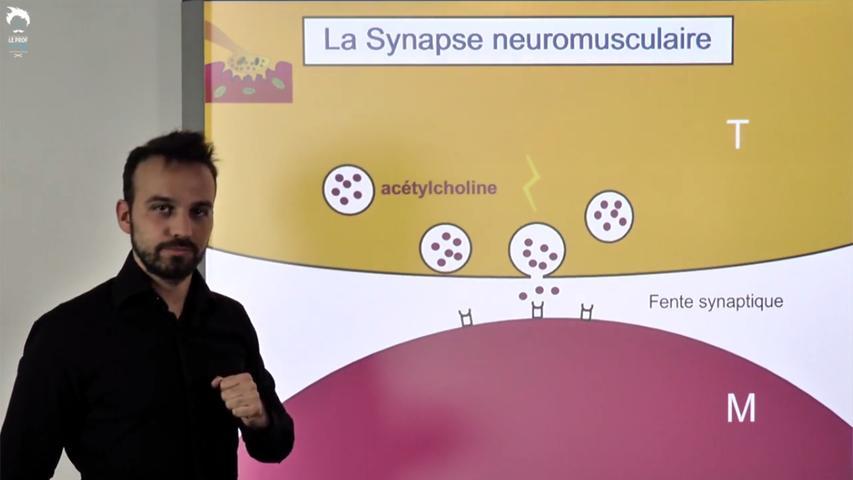 Synapse neuromusculaire et commande de la contraction